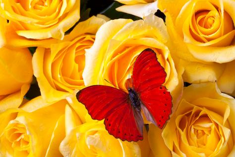 red-butterfly-on-yellow-roses-garry-gay